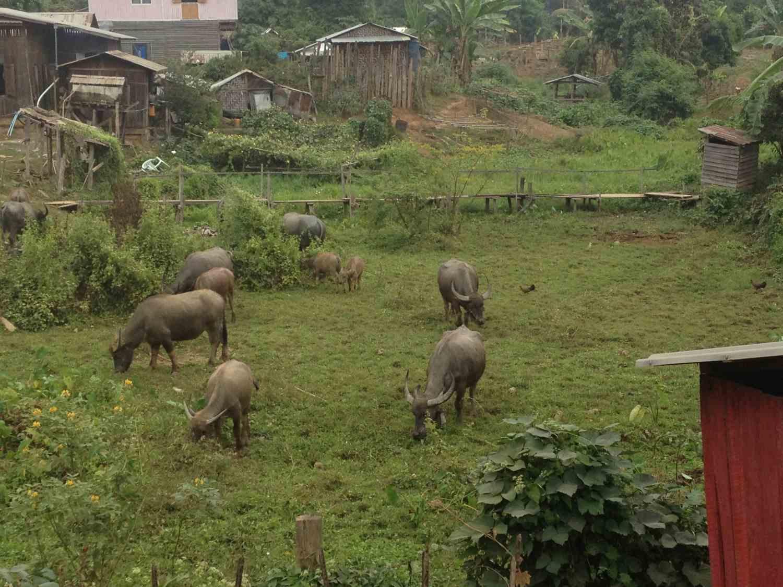 Waterbuffalos