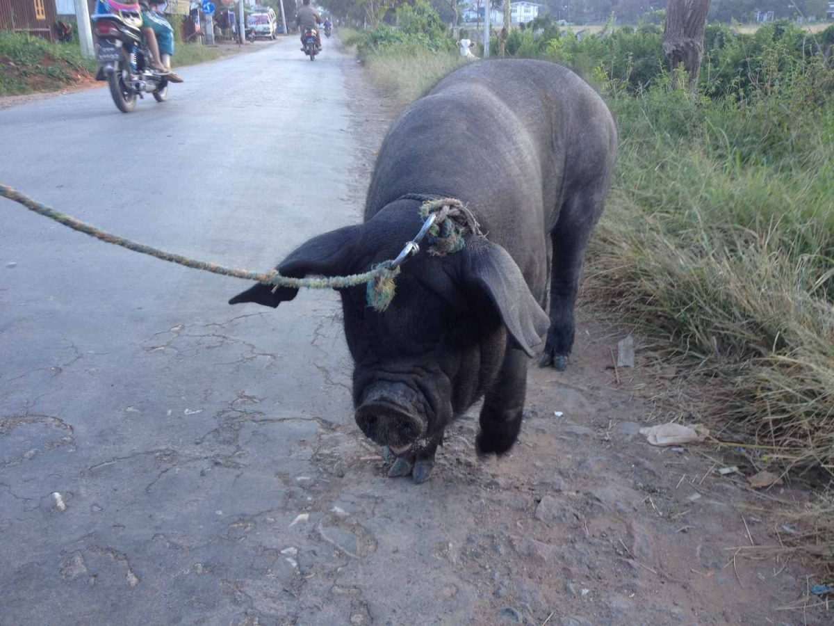 pig at afternoon stroll