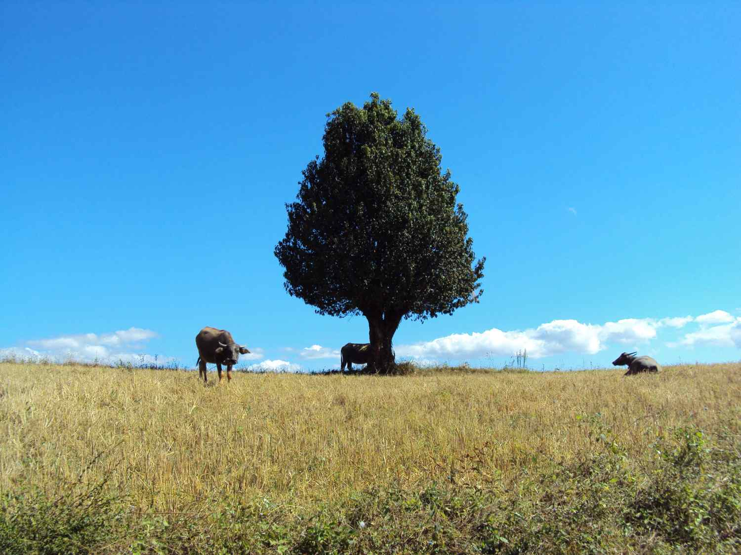Trees and Buffalos