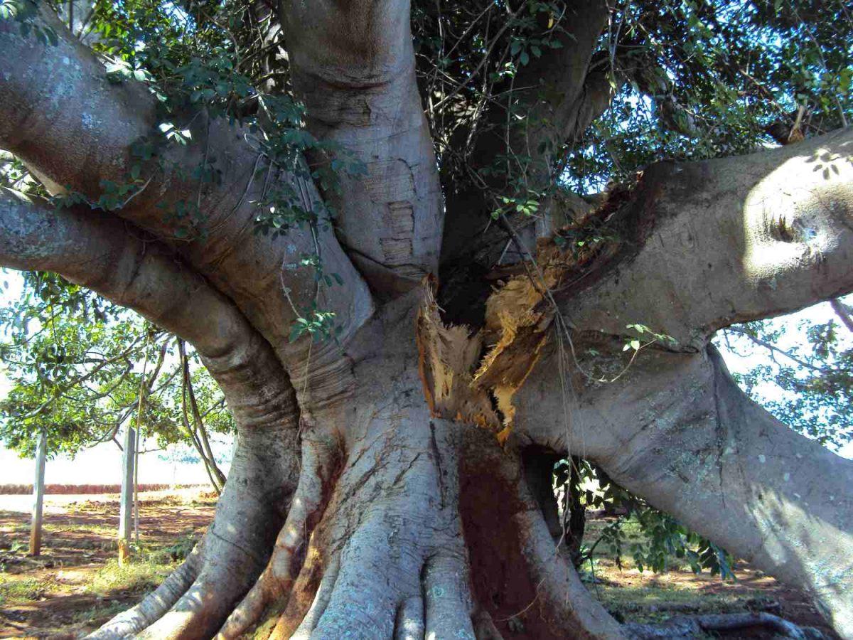 Geborstener Baum