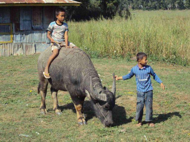 Boys and water buffalo - a harmonious relationship