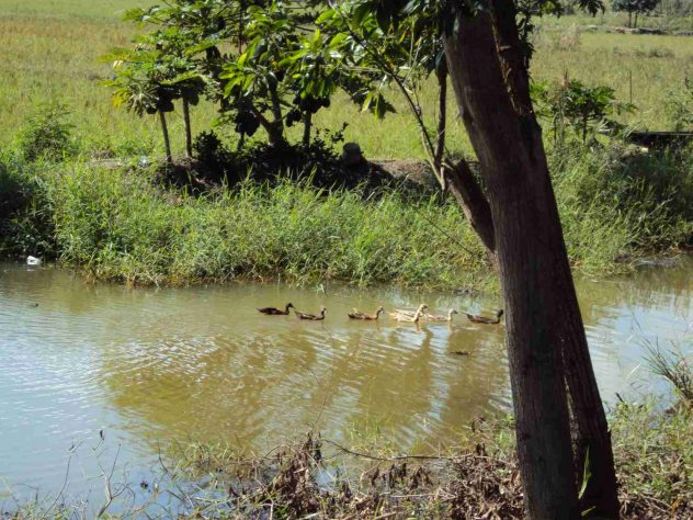 trip of a family of ducks