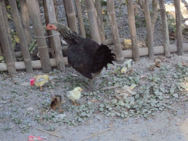 A hen leads her offspring out