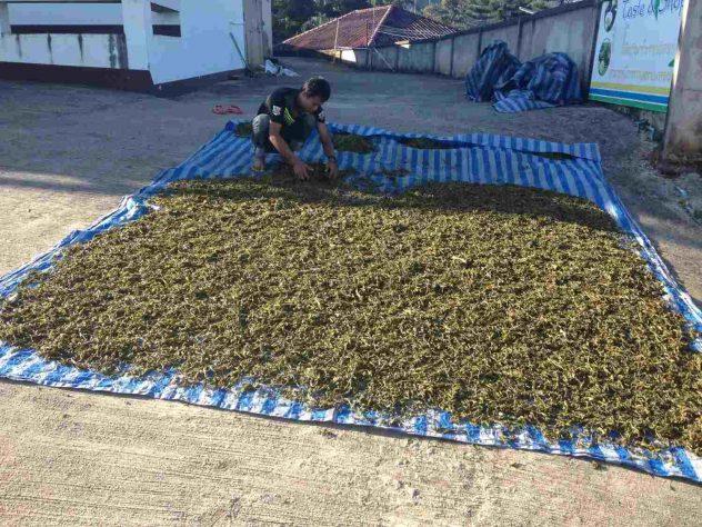 Tea drying