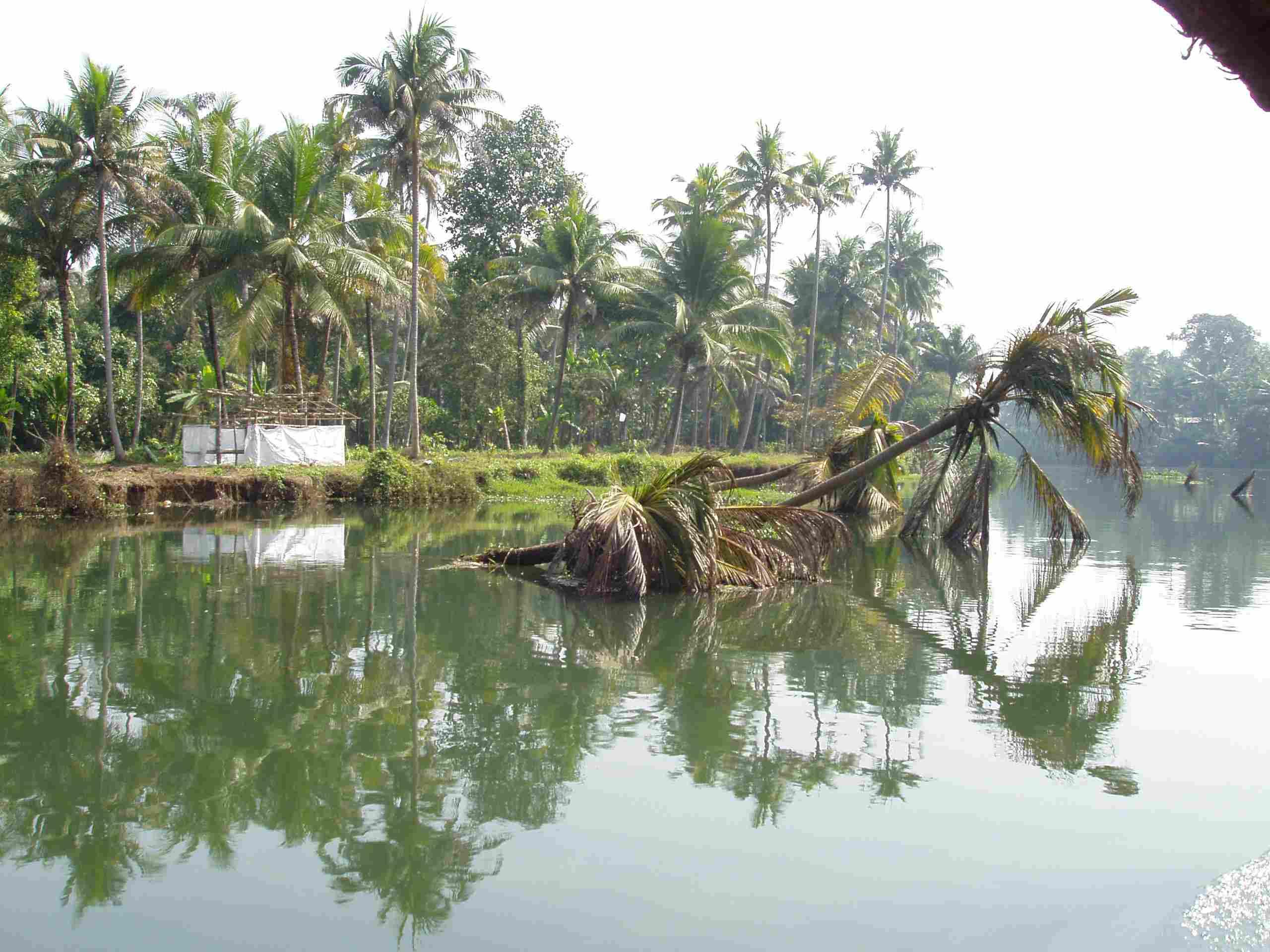 Fallen palm tree in water