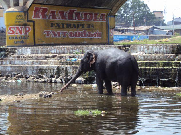 Elefantenwäsche in Madurai