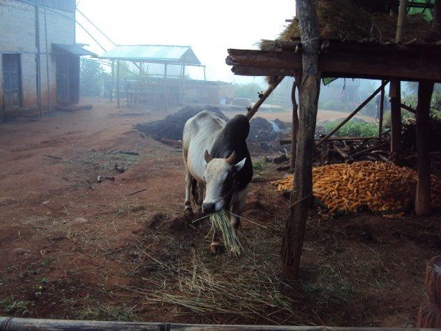 Kühe beim Frühstück