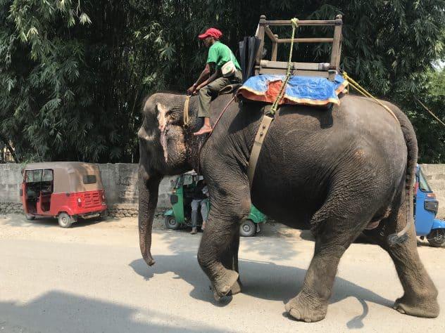 Elefant in Sauraha