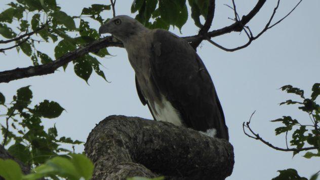 Weisskopf-Adler