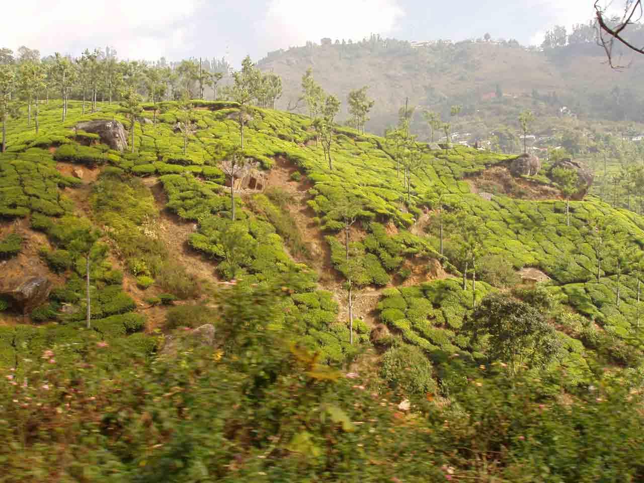 eroding tea fields