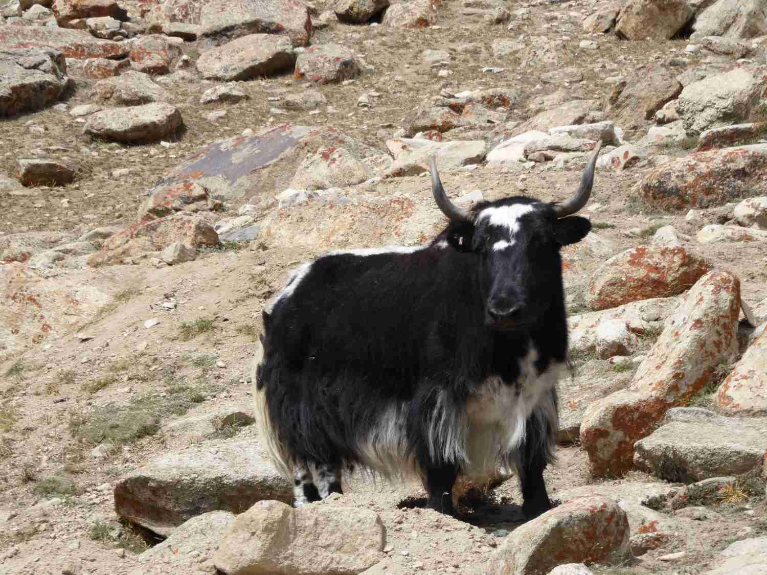 Yaks - Well protected against the cold