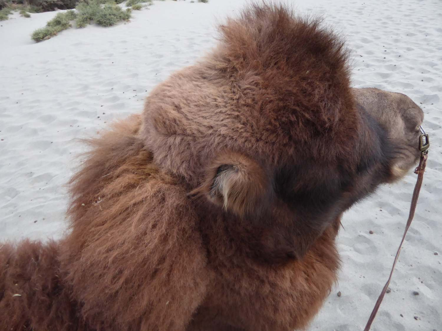 My own camel - I would love to take it home; just a treasure