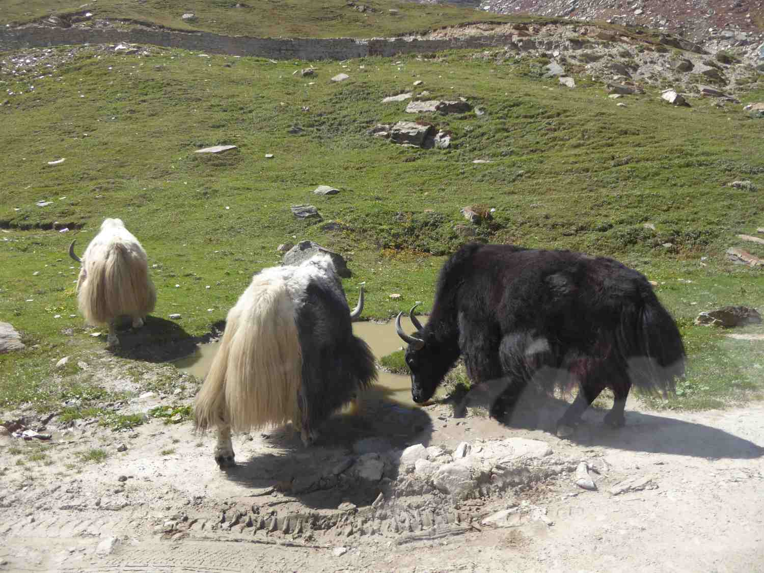 White, black, white/black yaks in search of food