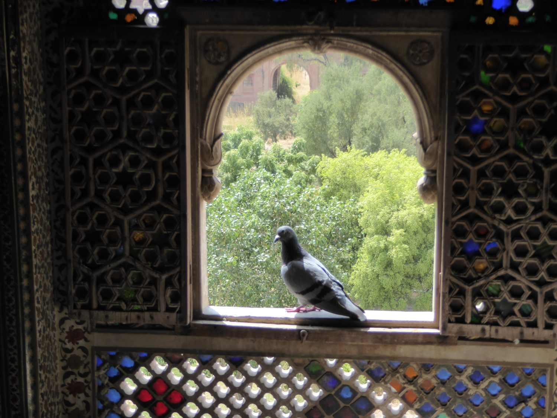 Taube am Fenster