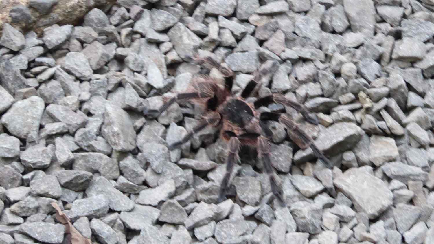 Tarantula on the path