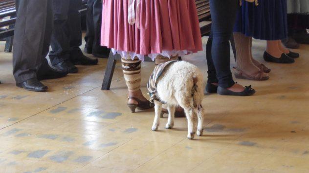 Sheep at mass