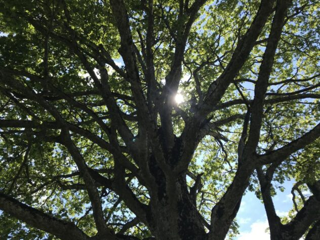 proud tree, with afternoon sun