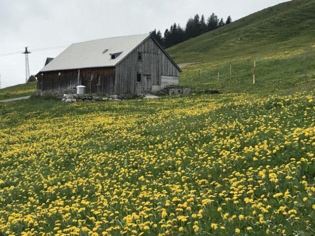whole fields of dandelion