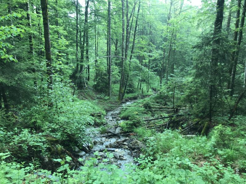 Swiss forest, looking like a jungle