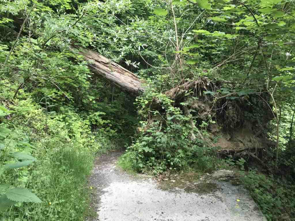 fallen tree over the path