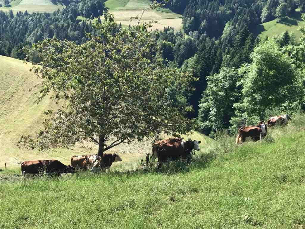 Cows looking for shade