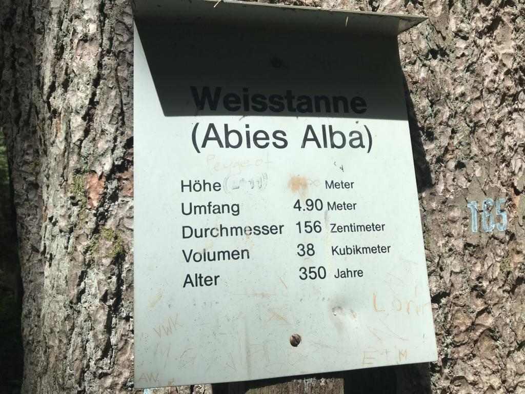 the tallest white fir in Switzerland