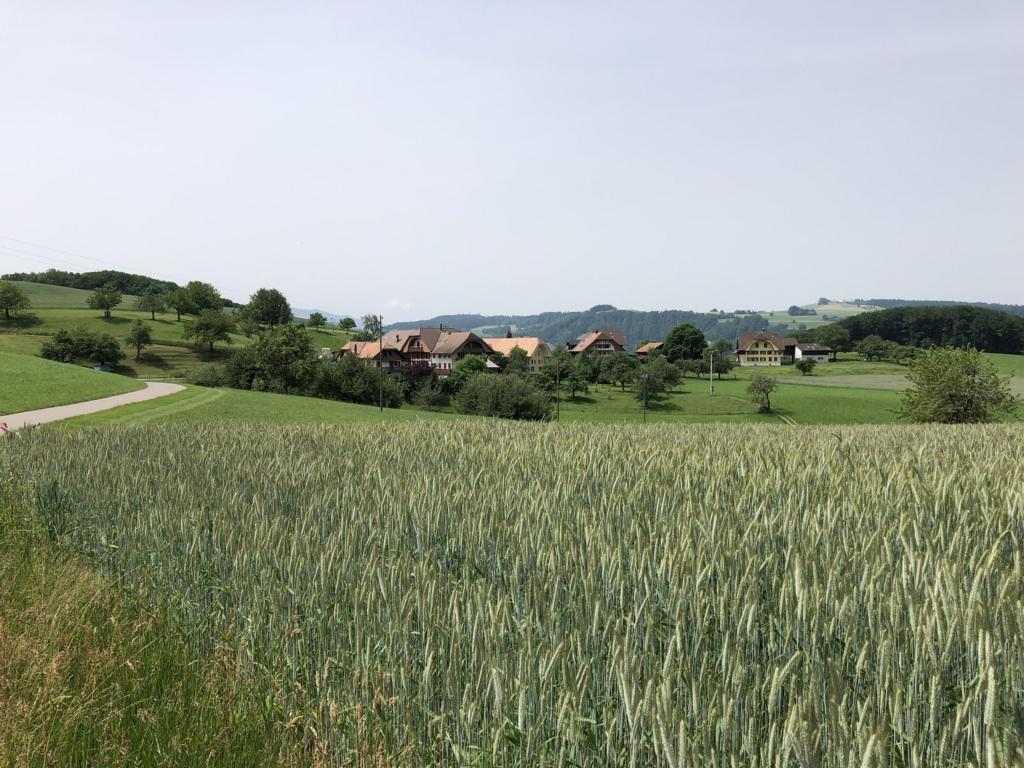 Wheat fields on the Belpberg